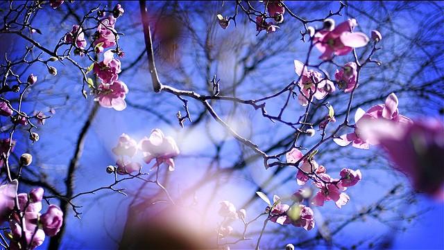 magnolia in the sky
