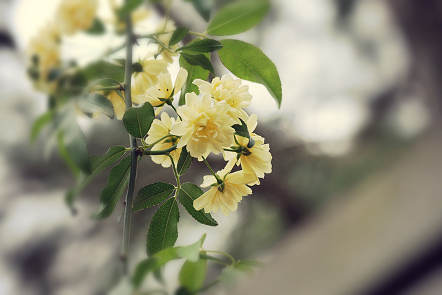 Jasmine roses - photo by NH